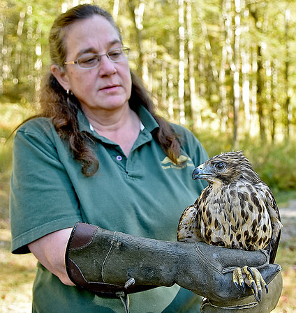 (Brad Davis/The Register-Herald) Three Rivers Avian Center Executive Director Wendy Perrone prepares to release a rehabilitated red shouldered hawk back into the wild Wednesday afternoon, one of around 200-250 patients the center will see each year.