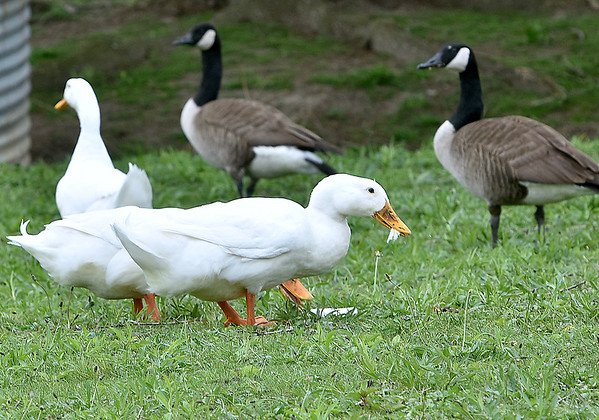 (Brad Davis/The Register-Herald) Ducks feast on slices of bread left by previous visitors to the pond in front of Woodrow Wilson High School Wednesdsay afternoon.