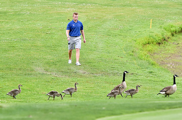 (Brad Davis/The Register-Herald) Golfer Chris Williams treads carefully as he approaches family of geese and goslings crossing his path on the way to his next shot during 3rd round action at the West Virginia Amateur Wednesday afternoon at The Resort at Glade Springs. No golfers were harmed by angry goose mothers during Wednesday's round.