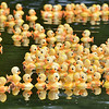 (Brad Davis/The Register-Herald) Hundreds and hundreds of rubber duckies race, very slowly, along a calm section of the New River after being dropped from the Veterans Bridge in Hinton during the town's annual Rubber Ducky Race Sunday afternoon.