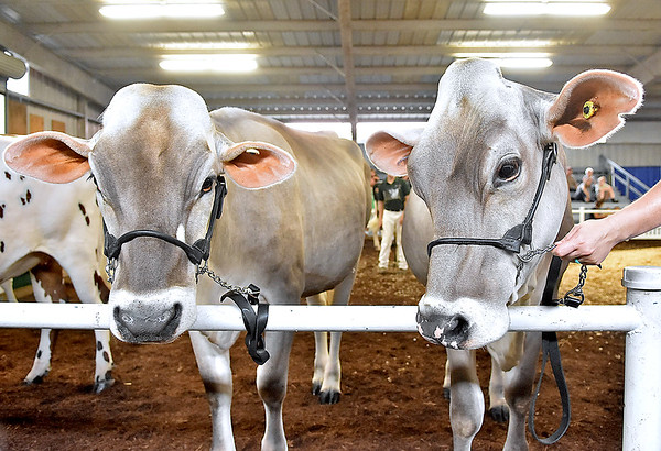 (Brad Davis/The Register-Herald) A pair of Brown Swiss cows prior to the Dairy Show at the State Fair Aug. 18 in Fairlea.