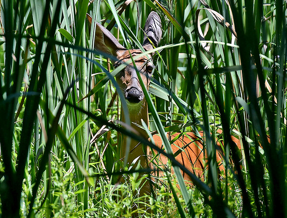 (Brad Davis/The Register-Herald) A resident deer notices the camera though thick vegetation during BNI action Sunday afternoon at Glade Springs' Stonehaven Golf Course.