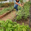 Pamela Bailey working her garden in the greenhouse at Five Springs Farm on Shelter Road in Fayetteville.<br /> (Rick Barbero/The Register-Herald)