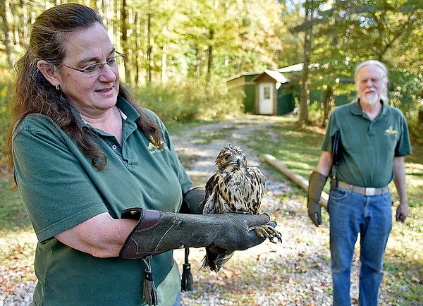 (Brad Davis/The Register-Herald) Three Rivers Avian Center Executive Director Wendy Perrone and Education Director Ron Perrone prepare to release a rehabilitated red shouldered hawk back into the wild Wednesday afternoon, one of around 200-250 patients the center will see each year.