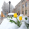 Tulips bloomimg through the snow in front of the Raleigh County Courthouse on Main Street in Beckley Monday morning.<br /> (Rick Barbero/The Register-Herald)