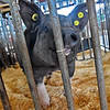 (Brad Davis/The Register-Herald) A pig named Rebel, one of the few awake at the time, is a bit curious of the camera snapping away in front of him as he hangs out in his pen during opening day at the State Fair Thursday afternoon. He's a product of the Hampshire County FFA program.