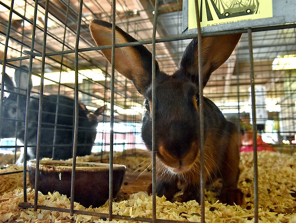 (Brad Davis/The Register-Herald) A curious rabbit gets a closer look at the camera that's snapping away at it Sunday afternoon at the State Fair in Fairlea.