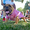(Brad Davis/The Register-Herald) Coco the English Bulldog.