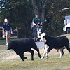 Cows running across the fairway on the 8th hole during the Class AA Region 3 championships held on Grandview Country Club.<br /> (Rick Barbero/The Register-Herald)