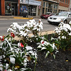 Snow covers a flower bed of tulips on Main Street in Beckley Wednesday morning. <br /> (Rick Barbero/The Register-Herald)