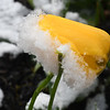 Snow covers a tulip in a flower bed on Main Street in Beckley Wednesday morning. <br /> (Rick Barbero/The Register-Herald)