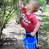 Nathan Chambers, 2, son of Tasha Chambers, of Covington, Va., picking blueberries at White Oak Farm in Renick.<br /> (Rick Barbero/The Register-Herald)