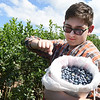 James Quantz, of Hot Springs, Va. picks blueberries at White Oak Farm in Renick.<br /> (Rick Barbero/The Register-Herald)