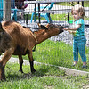 Lilly Powers, 2, of Oak Hill, feeding animals peanuts on Nicole Linkfield's farm located on 43 Hopewell Road in Victor.<br /> (Rick Barbero/The Register-Herald)