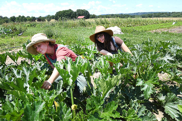 Erin Yakim, production crew lead manager, left, and Emily Bonzek, production team apprentice, picks zucchini at New Roots Community Farm on 167 Wolf Creek Road in Fayetteville. The farm harvest every Monday for Turnow and Thursday's for community sales. The farm in hosting an open farm market every Thursday form 1-6 p.m. until October.<br /> (Rick Barbero/The Register-Herald)