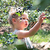 Miriam Brady, 1, picks blueberries at White Oak Farm in Renick Monday. Although late in the season the pick-your-own farm still has plenty of blueberries to pick and they are open this week Mon, Tue, Thur, Fri 8 - noon and 4 - 8 pm and Saturday 8 am - 5 pm. Depending on weather and picking conditions this week might close out their season.  Jenny Harnish/The Register-Herald<br />  <br /> 