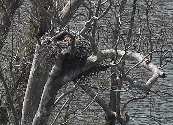 Bald eagle rest in a nest with her two babies and can be viewd from the Brooks overlook in Summers County across the river on the downstream end of Brooks island in a large sycamore tree. The nest was built by the first confirmed breeding pair of eagles in the New River Gorge National River that was started in the winter of 2009 and the eagles have returned to the area every winter since.<br /> (Rick Barbero/The Register-Herald)