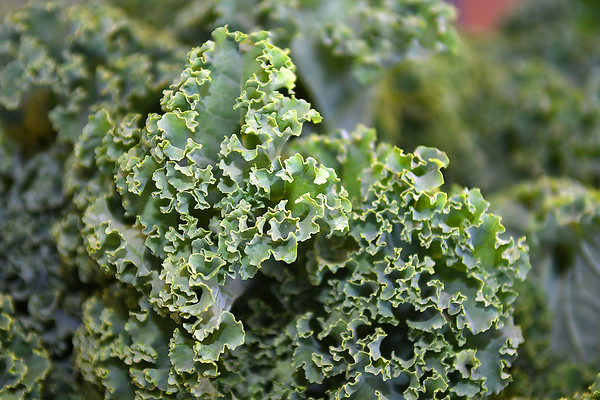 Curly Kale grown at New Roots Community Farm on 167 Wolf Creek Road in Fayetteville.<br /> (Rick Barbero/The Register-Herald)