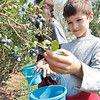 Daniel Spencer,8, picks blueberries at White Oak Farm in Renick Monday. Although late in the season the pick-your-own farm still has plenty of blueberries to pick and they are open this week Mon, Tue, Thur, Fri 8 - noon and 4 - 8 pm and Saturday 8 am - 5 pm. Depending on weather and picking conditions this week might close out their season.  Jenny Harnish/The Register-Herald