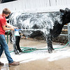 Lane Friend, 15, a 4-H member from Braxton County, washes his Limousin cattle at the State Fair of West Virginia Wednesday in Fairlea.  Jenny Harnish/The Register-Herald