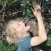 Max Tuckwiller, 7, eats blueberries while picking them at White Oak Farm in Renick Monday. Although late in the season the pick-your-own farm still has plenty of blueberries to pick and they are open this week Mon, Tue, Thur, Fri 8 - noon and 4 - 8 pm and Saturday 8 am - 5 pm. Depending on weather and picking conditions this week might close out their picking season.  Jenny Harnish/The Register-Herald<br /> <br /> 