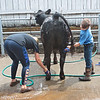 4-H members Samantha Rexroad, 13, and Mason Smarr, 10, from Braxton County, wash one of their Limousin cattle at the State Fair of West Virginia Wednesday in Farilea.  Jenny Harnish/The Register-Herald