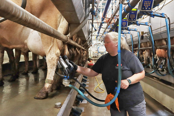 Perk Organic Dairy Farm manager Lauren Perkins milks around 250 cows every morning on her family's farm in Frankford. Jenny Harnish/The Register-Herald