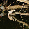 Common Moorhen (L) & Eurasion Collared Dove (R)