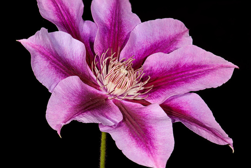 """This photo of a clematis is a composite of 15 photos shot at f/22 at varying focus points across the 6"""" flower to achieve maximum depth of field (focus stacking)."""