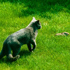 Domestic cat predation significantly inpacts the mortality of songbirds everywhere and bunnies in my yard.