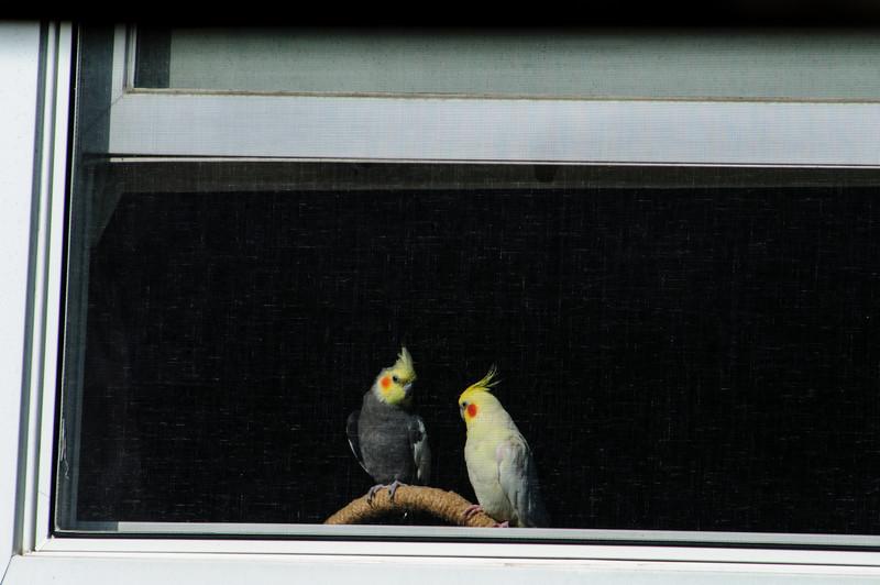 Our neighbor's birds (Cockatiels).