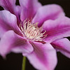 This photo of a clematis was shot at f/3.2 to achieve a narrow depth of field, as compared to the accompanying photo which is a 15 photo focus stack.