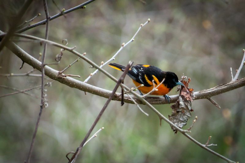 Oriole with a leaf for nesting material.