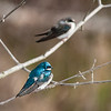 Tree Swallows, male in foreground, female behind
