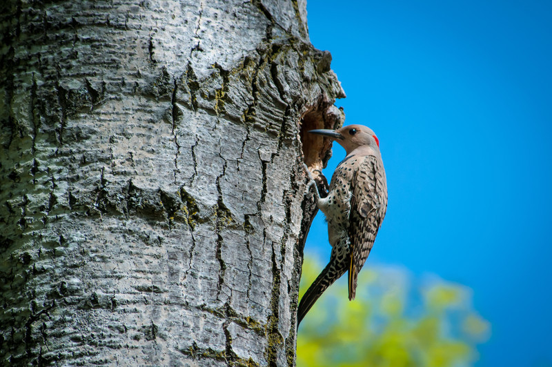 Norther (Yellow-shafted) Flicker