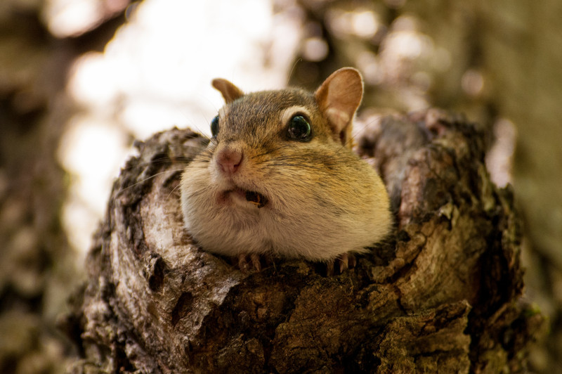 Eastern Chipmunk; also has been referred to as a chitmunk, jidmoonh, ajidamoo, chipmonk, chipmunk, chipmuck, chipminck, chip squirrel, chipping squirrel, Hackee, striped squirrel, chipper, munk, or timber tiger.