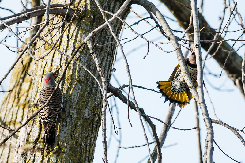 These two flickers were chasing each other around the trunk of this cottonwood tree for about 10 minutes.