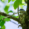 Blue Gray Gnatcatcher (on nest)
