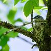 Blue Gray Gnatcatcher (on nest)