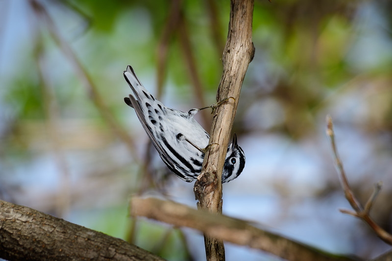 Black and White Warbler doing chin ups.