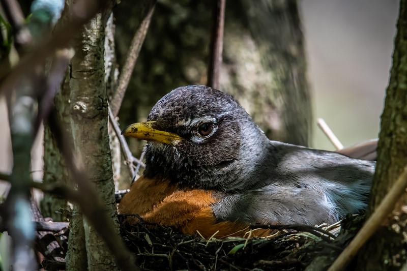 American Robin on nest