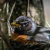 American Robin on nest