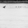 Canada Goose on the edge of the ice