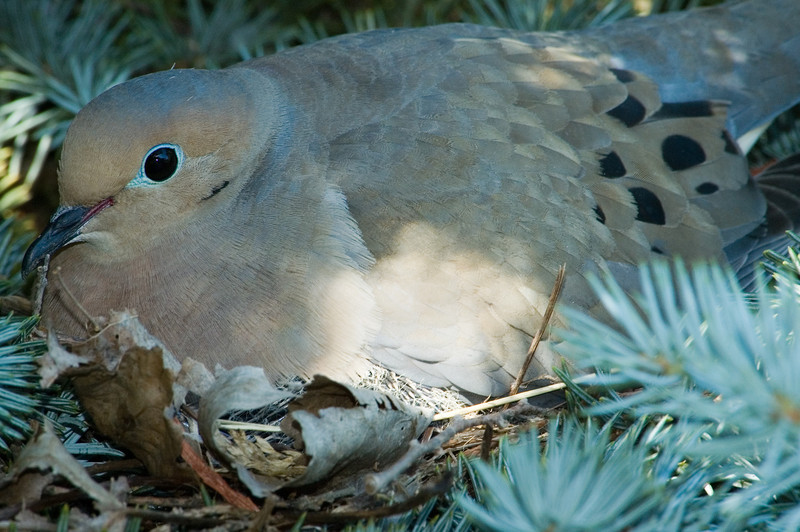 This dove was in a tree in our neighbor's yard and was very accomodating as we watched her tend her eggs over a period of weeks.
