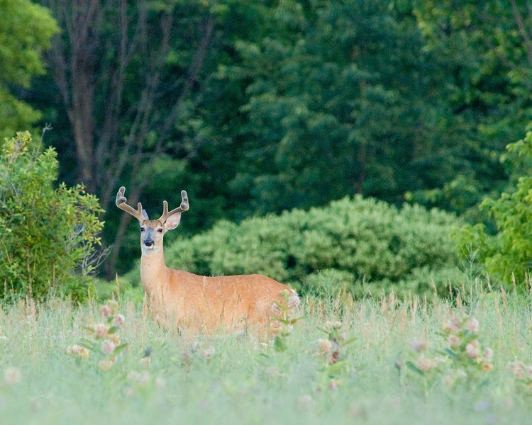 This set of antlers probably grew a bit more after this early July photo was taken.