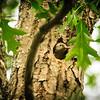 Red-bellied Woodpecker, pre-fledge
