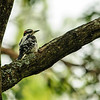 Hairy Woodpecker (probably a juvenile)