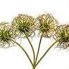 Clematis, post bloom