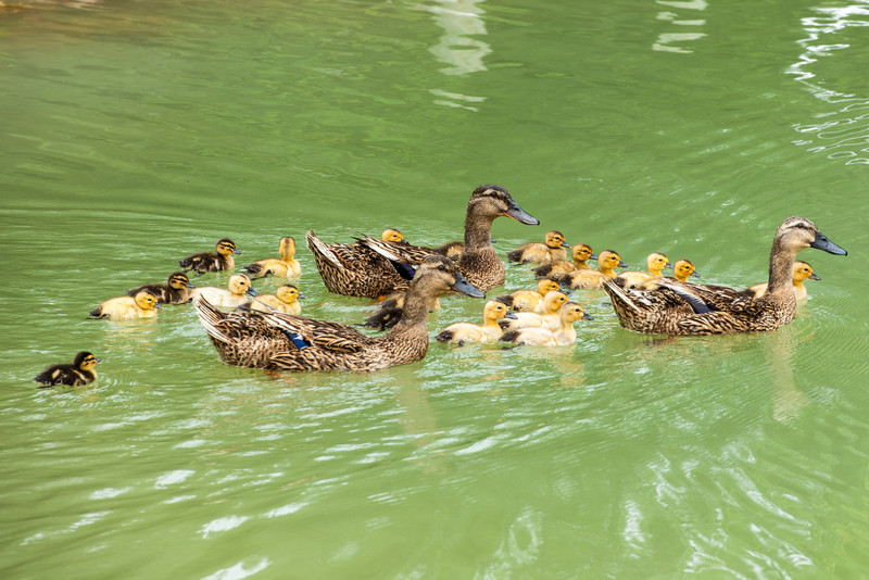 Three mallard hens with 21 ducklings