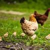 Hen with chicks near Atlanta, Michigan
